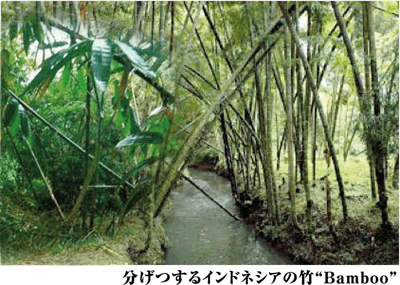 分げつするインドネシアの竹バンブー