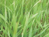 植物天然ケイ素
